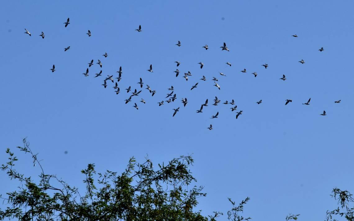 Lagunas de oxidación: un oasis para aves migratorias - El Sol de ...